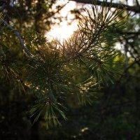 Солнце сквозь ели :: Galya Voron