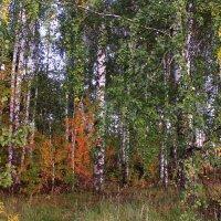 Уж осень красками спешит раскрасить лес :: Татьяна Ломтева