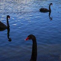Черные лебеди :: Людмила Синицына
