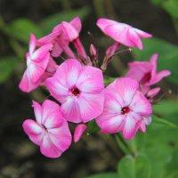 цветы :: Tiana Ros
