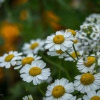 Уходящие цветы :: Валерий Пегушев