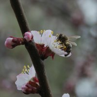 пчела :: Сергей Кондратович