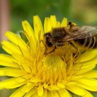 Пчела на одуванчике :: Serg Lee