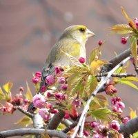 Зеленушка обыкновенная или Лесная канарейка :: Serg Lee