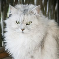 Кошка-красавица :: Ольга Белёва
