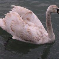 Лебедь :: Дмитрий Бурьков