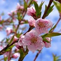 Нежность весны :: Оксана Парубина