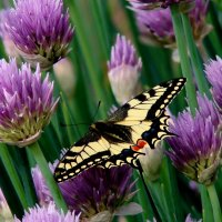 Бабочка на луке :: Таня Аверина