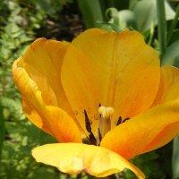 Внутри желтого тюльпана :: Александр Скамо