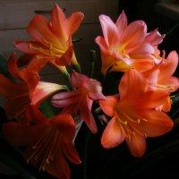 Кливия во цвету :: Александр Скамо