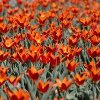 Tulips :: Сергей Мемрук