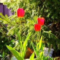 Тюльпаны 2013 года... :: Дмитрий Скубаков