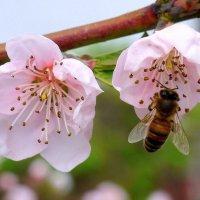 Пчелка :: Оксана Парубина