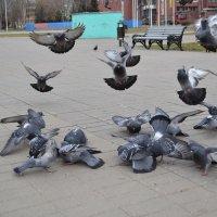 Приземление голубей :: Владислав Пересёлов