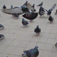 Взлетающий голубь :: Владислав Пересёлов