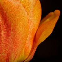 Тюльпан :: Валерия заноска