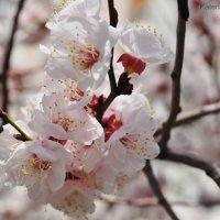 А на дворе цветёт весна... Она в кого-то влюблена :: Екатерина Николайчук