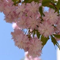 Весна в Донецке - сакура цветет.. :: Ольга Рыбакова