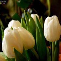 Тюльпаны :: Людмила Осипова