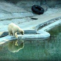 Белый мишка :: Евгеша Сафронова