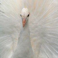 Белый павлин. :: Альберт Куров