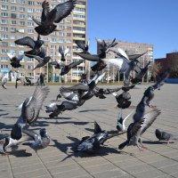 Приземление голубей 2 :: Владислав Пересёлов