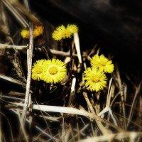 Весенние цветочки :: Яна Васляева