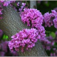 Иудино дерево (Церцис) или багряник :: Андрей Lyz