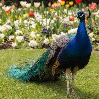Peacock :: Anna Aleksandrova