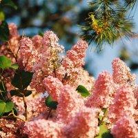 Сирень в цвету :: Agnivarshi Малтыз