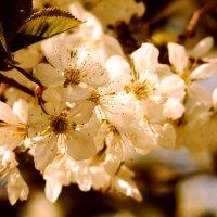 Вишенка цветет... :: Дмитрий Скубаков