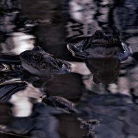 лягушки :: Сергей Кочнев