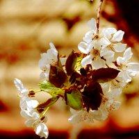 Вишенка в цвету... :: Дмитрий Скубаков