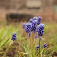 Голубые цветы :: Марина Кулымова