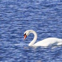 Лебедь :: Елена Зимина