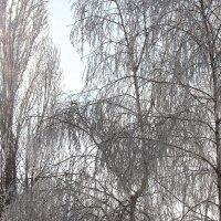 Иней на ветках :: Зинаида Ермакова