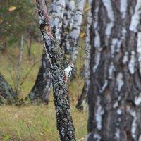 Дятел в осеннем лесу :: Илья Кузнецов