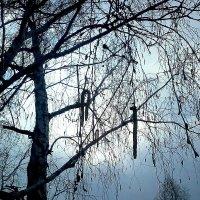 Пасмурная береза) :: Люба Гительман
