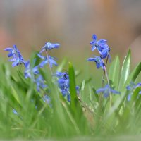 Цветы - перелески :: Алексадр Крылов