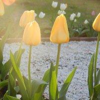 Желтые тюльпаны..) :: Надежда Пономарева (Молчанова)