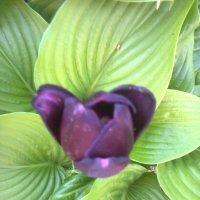 Чёрный тюльпан :: Натали Жоля