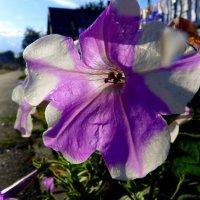 цветок перед закатом :: Александр Прокудин