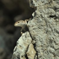 Ящерка средиземноморского вида :: Юрий Воронов