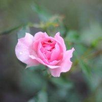Последние розы этого года :: Marina K