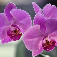 Орхидея Золушка :: Ирина Приходько