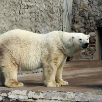 Символ Ленинградского зоопарка –  белый медведь :: Елена Смолова