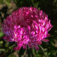 Астра - осени цветок. :: *MIRA* **