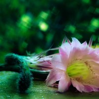 Цветок кактуса :: Петр Корунец