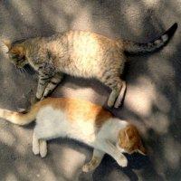 Кошачья любовь :: Nastasia Nikitina