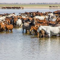 Водные лошадки (серия) :: Oleg Sharafutdinov